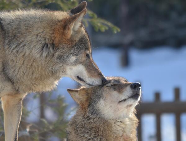 す ご く か  わ い い #狼 #オオカミ #多摩動物公園 http://t.co/ammYp6deKC