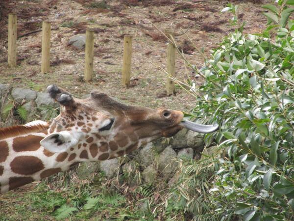 キリンが長い首を精一杯伸ばして、サバンナ脇の木の葉を食べていました。 キリンは首だけでなく、実は、写真のように舌も長いです! 野生では、このようにして木の葉を主食にしています。 ますます首が長くなったら、どうしましょう!?(北)