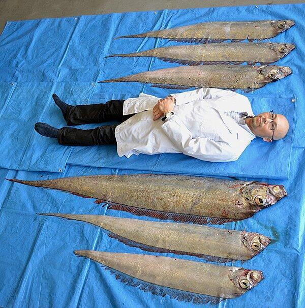 ついに、シシャモ・サイズのおっさんが開発されたのかと思ったろうが・・・(怒)。 RT やはりこの写真のインパクトが>深海魚サケガシラ、9匹まとめて萩に到来!(2014.2.20) http://t.co/Z4z6ILSL3U  http://t.co/f9QTqCBuOr