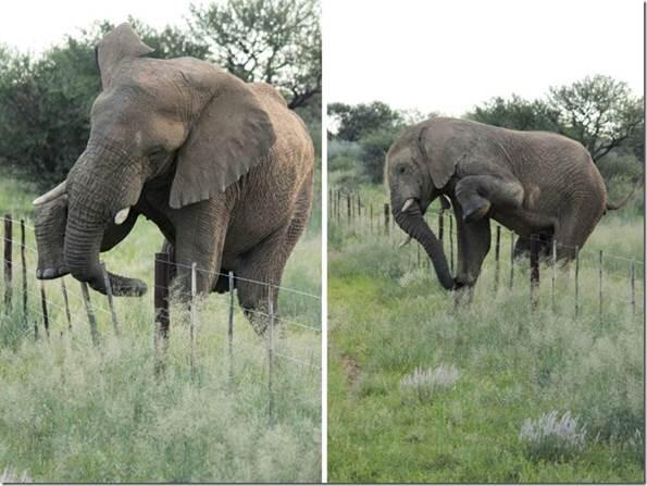 This #elephant covered a huge distance across farmland without damaging a single fence! #respect http://t.co/ReHVbWxkFc