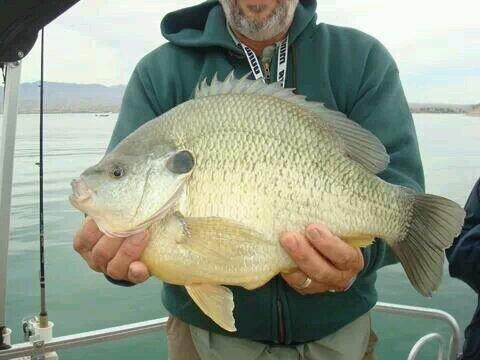 Nike fishing nikefishing twitter for Shell cracker fish