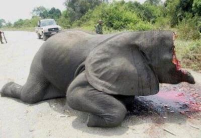 Please help me stop elephant poaching. It makes me want to cry. And kill the fucking scum that did this..