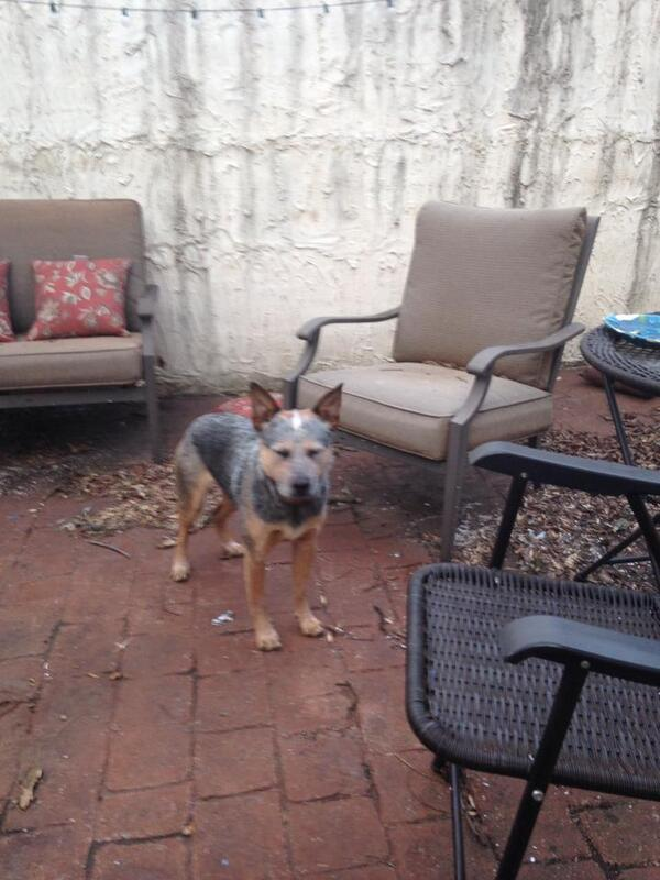 FOUND! Male Blue Heeler w/o collar around 2 years old. He weighs apx. 30 lbs found on S 17th St in East Nashville. http://t.co/8oJgPOkITs