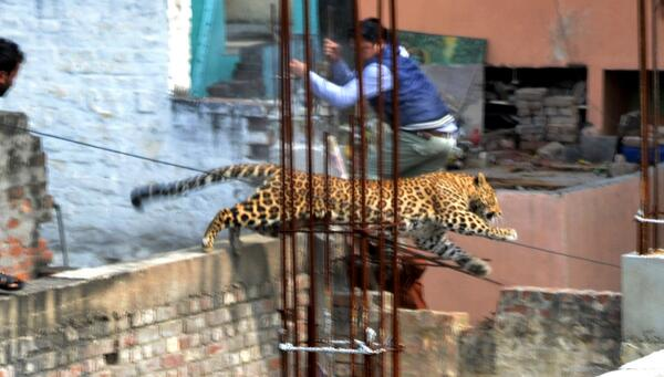 This leopard broke into an Indian hospital: http://t.co/SlY1HaI1x3 (Agence France-Presse/Getty Images) http://t.co/iRO7LR92Ay