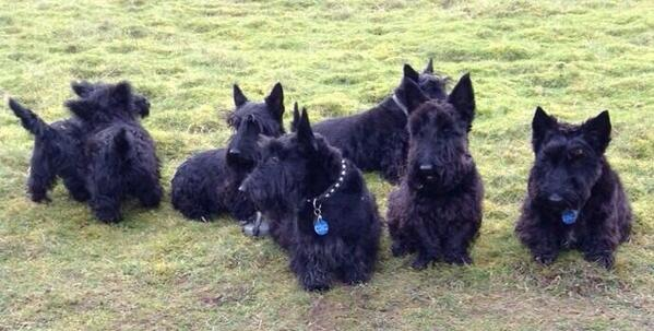 @marcthevet @pupaid a healthy family of scots! http://t.co/Msef7gK9x5
