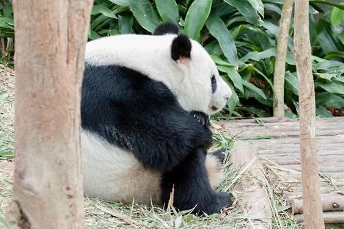 """""""体育座り"""" をしているパンダさん…。 pic.twitter.com/3XOxfZGmgJ"""