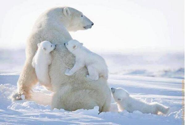 It's International Polar Bear Day. Climb aboard the #SaveTheArctic bandwagon.   http://t.co/22hDyyoR84 http://t.co/JMxKTYoW9U