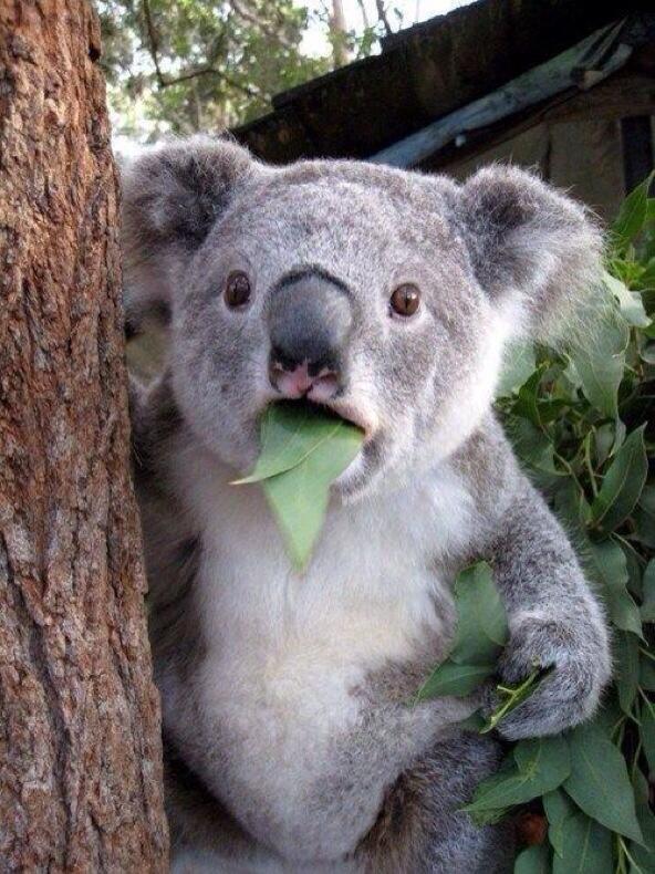 A surprised koala!