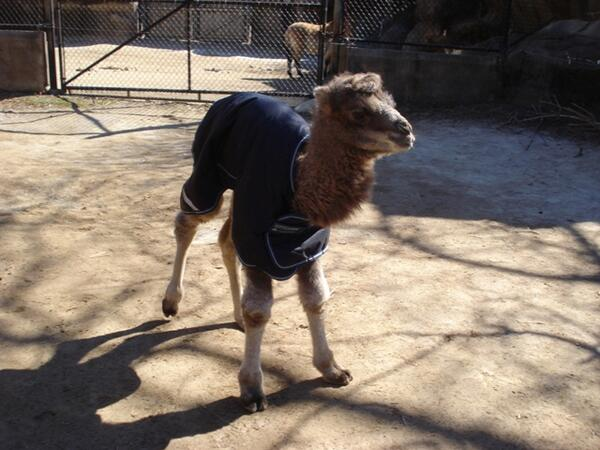 The cutest 3-day old baby wearing a coat photo that you've ever seen. #fact #zoolife @CincinnatiZoo http://t.co/KO97r6aNFf