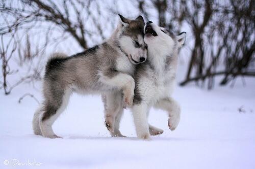 雪の中でじゃれるハスキーの子犬 pic.twitter.com/avKvm7cEVS