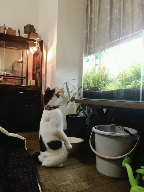 水槽いじってたら猫が金魚を見にきて最終的に立った