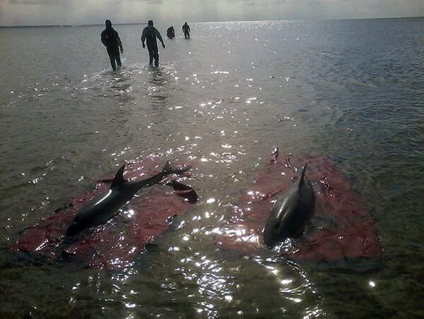BREAKING: rescue team on site in Provincetown, MA working to save 4 dophins. cc: @capecodtimes http://t.co/uQo1GmKdpZ