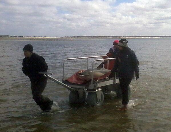 DOLPHIN UPDATE: rescue team working to release 4 dolphins back into the ocean ~ 12:30 PM EST: http://t.co/QsNCoNxArq