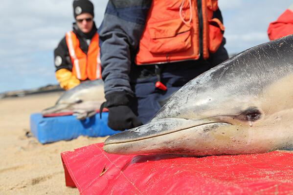 GREAT JOB! Team successfully releases 4 common dolphins back into the sea from Provincetown, MA! http://t.co/oBWRgHM2wS