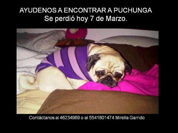 @VIBRAmascotas Puchunga Se perdió en Santa Mónica Edo. De México