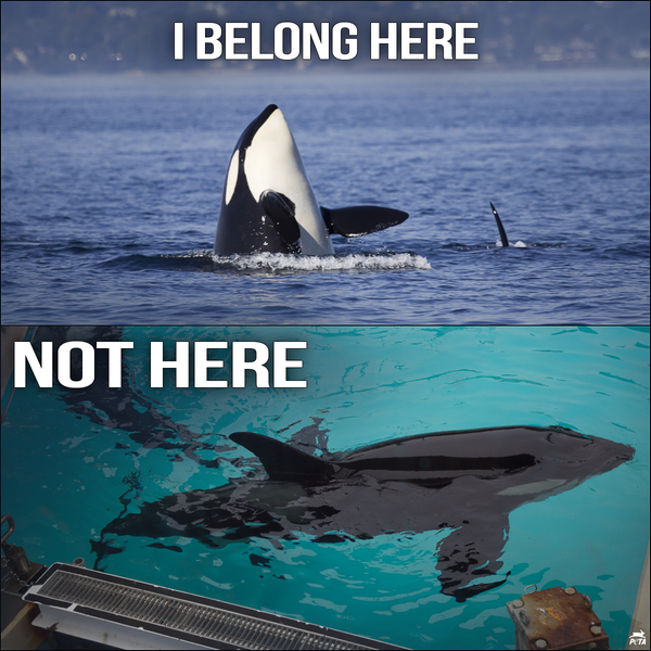 Killer whales in captivity vs wild - photo#11