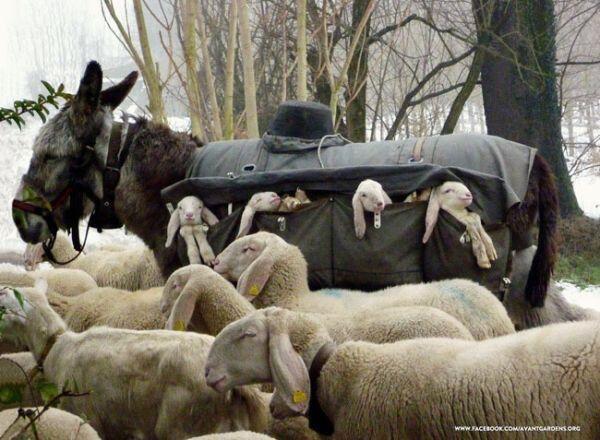 かわいすぎて夢か童話かって感じな世界。ロバが生まれたての子羊ちゃんたちをわんさか運んでタクシー役。この表情!