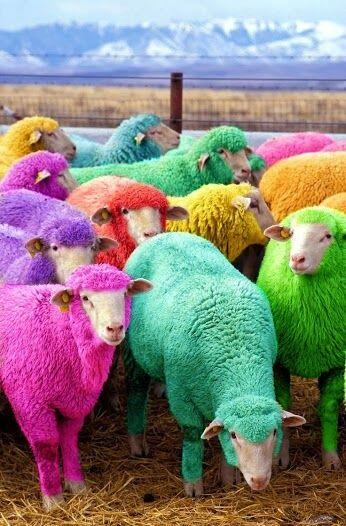 Freshly dyed sheep, The farmer has been dying his sheep with Nontoxic dye since 2007 to entertain passing motorists.. http://t.co/rb40mvKCkT