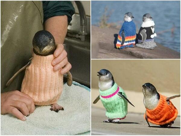 Wildlife charity overwhelmed by adorable, hand-knit penguin sweaters: http://t.co/Lr9iNY2ppg (via @CBCCommunity) http://t.co/Zzyq0rYIgw