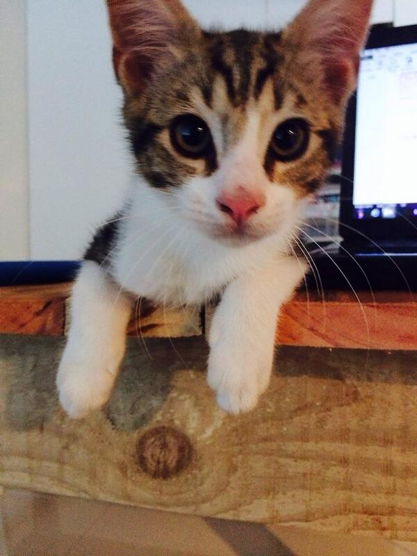 Friends of mine are desperately looking for their kitten, Oli, who went missing in Tamboerskloof. Anyone seen him? http://t.co/giDivZZ2JO