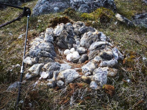 Lemmings. A fucking owl nest made from lemmings. http://t.co/JQik1NJGOR http://t.co/9xcRlFDIby