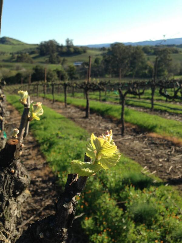Bud break on Pinot Noir at our Devaux Vineyard in Carneros this morning. Spring has sprung! http://t.co/THbm28WgDR