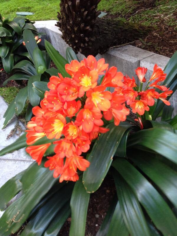 Harbinger of Spring - Kaffir lillies in San Francisco. Now just hoping the wind doesn't blow us all away today... http://t.co/xWF9OVswMK