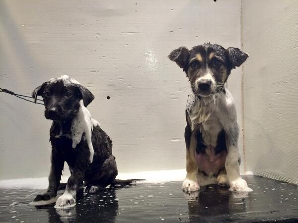Bath time with Mishka and Jake.  @HumaneSociety @TODAYshow http://t.co/pmj3UzUA56