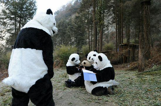 どうもタイムラインが殺伐としている気がするので、ここで中国パンダ保護研究センターがパンダを自然に帰す時に、子パンダを怖がらせないようにしている工夫を見てみましょう。