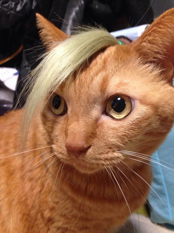 猫にウィッグの切った余りを乗っけたwwwwwww pic.twitter.com/NKz8YHEjv1
