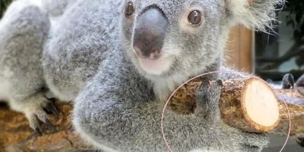 コアラは樹上生活者。写真の前足の指にも注目。親指が2本ある?…じつは「親指と人差し指」が「その他の3本の指」と向かい合い、木の枝をつかめるようになっています。