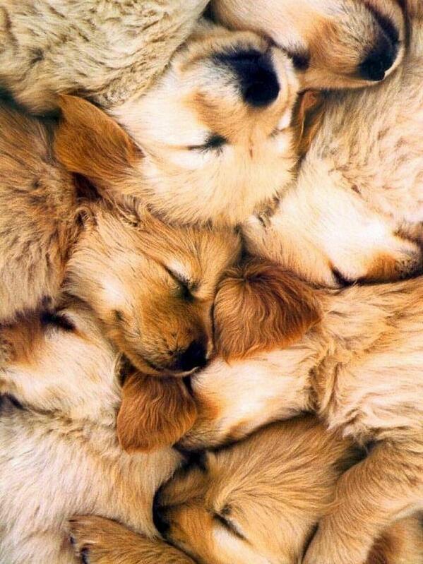 ゴールデンレトリバーの子犬集まってお昼寝中 pic.twitter.com/Go5BDMeFkw