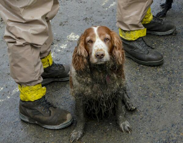 Four paws, an amazing nose..the muddy warriors making the difference in the mudslide search @ABCWorldNews http://t.co/qbck5LJn2w Thx @JSSWA