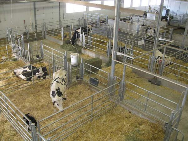 A comfortable straw bed ensures cows are relaxed at calving time.