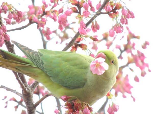 朝散歩してたら満開の桜にセキセイインコが居る不思議な光景に出会った pic.twitter.com/8n82A5dhVz