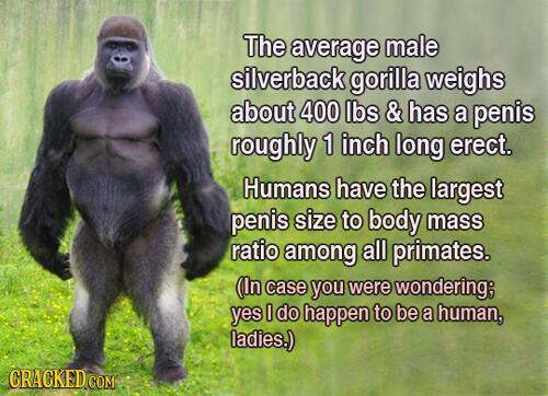 penis w gorilla dlaczego zła erekcja w 35 lat