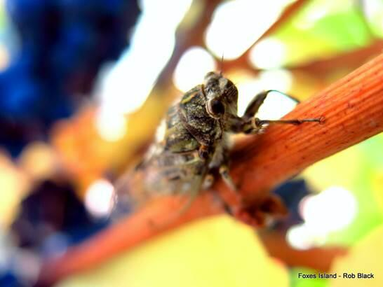 Twitter / FoxWines: Signs of harvest - a Cicada ...