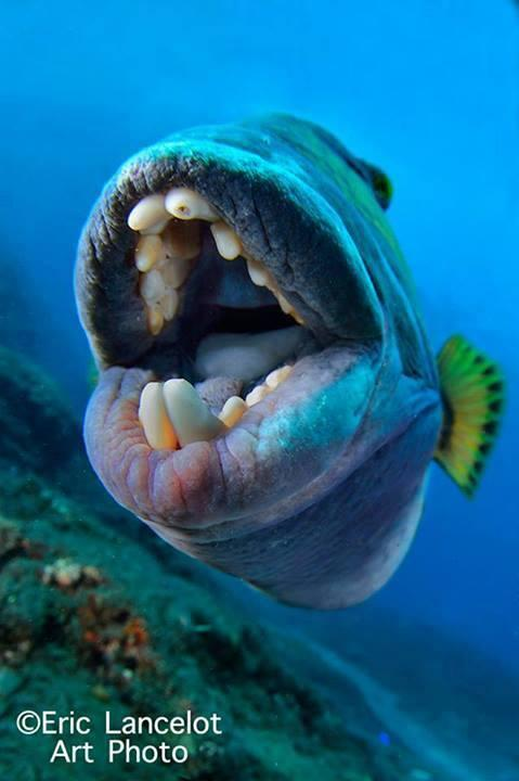 Queen Triggerfish Teeth Bookyourdive.co...