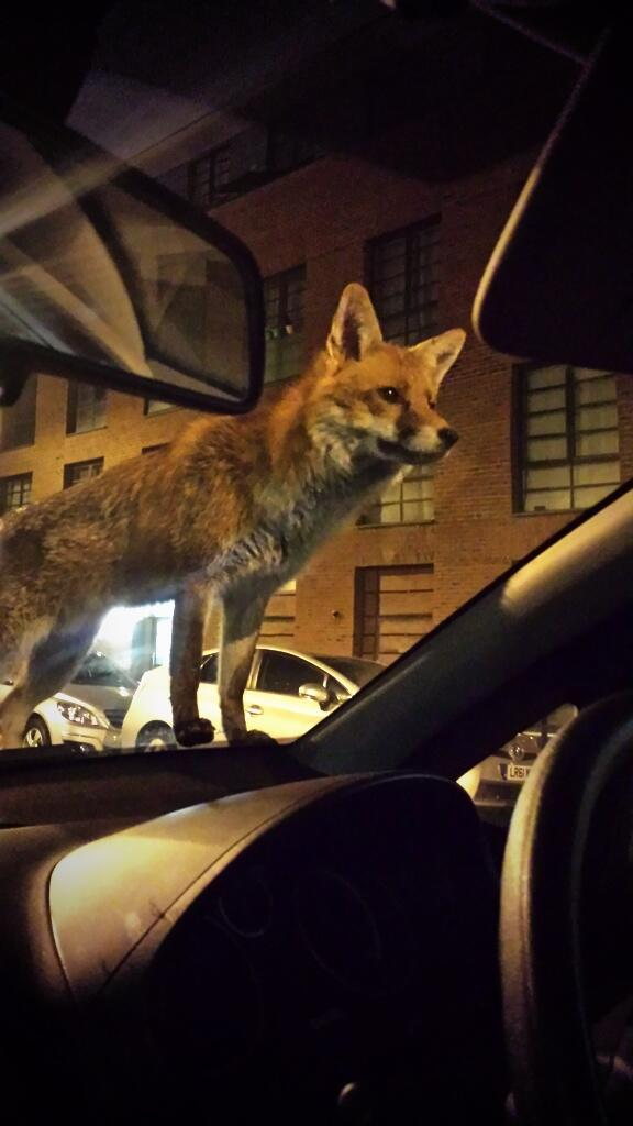 Are London foxes becoming more brazen? Local PC Steve Bullock snapped this handsome chap from his car @islingtongztte http://t.co/Rjy2nHc5Fx