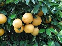 Grapefruits grow in bunches, thus the name GRAPEfruits #funfactfriday #TXfood14 http://t.co/6BPJFs6sBt