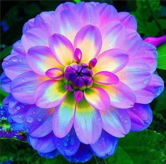 """Super Le sxviez-vous?™ on Twitter: """"Dahlia, une des plus belles fleurs  ZN59"""