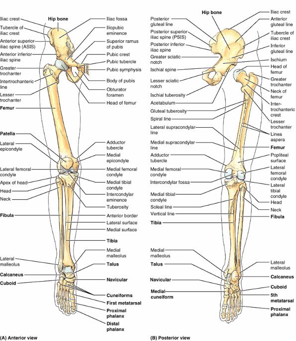 Lower limb skeletal anatomy