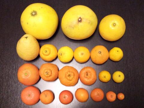 柑これ左上よりチャンドラポメロ、晩白柚、文旦瓢柑、三宝柑、はるか、ひめのつき、スイートスプリング、媛小春伊予柑、ピクシータンジェリン、不知火、ポンカン、花柚、黄金柑麗紅、はれひめ、たんかん、レモン、ダブルマーコット、温州、金柑 pic.twitter.com/mWJhnuFmvu