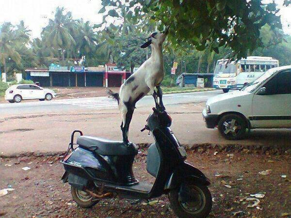 Goat's own country? :p RT @deejTHtraveller: Received this via fb...goats of Kerala! http://t.co/e0LQtrYP0M