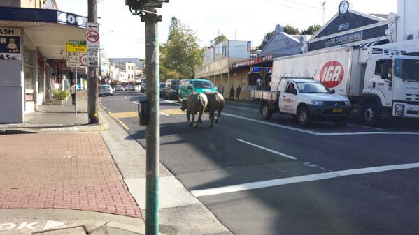 Run water buffalo, run! http://t.co/nkZ4Vfmu43