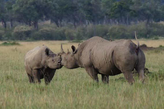 Never expected to see this today in the Maasai Mara. Not just a rhino, but rhinos in love… #TembeaKenya @serenahotels http://t.co/uaOZsnKblU