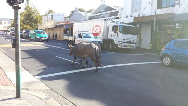 hey @Samsung do these buffalo belong to you? i saw them on #KingSt #newtown http://t.co/8usNaGgoS2