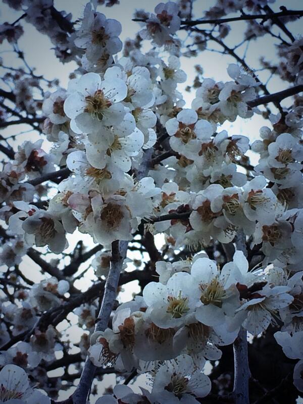 しだれ桜白色