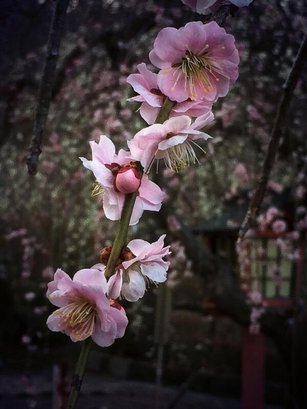 しだれ桜桃色