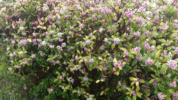花壇のおしろい花が、 いい香り。 そんな雨の一日です。 http://t.co/2AGeJpciFM
